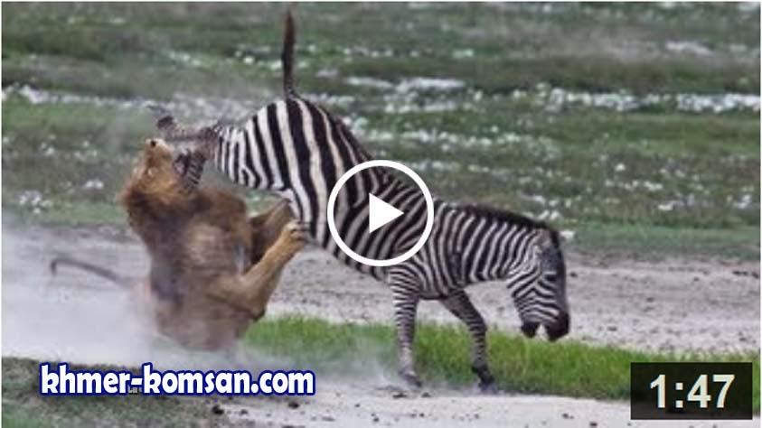 Zebra Kills and Eats Lion