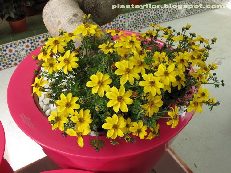 Plantas y flores nombre com n bidens verbena amarilla - Planta verbena cuidados ...