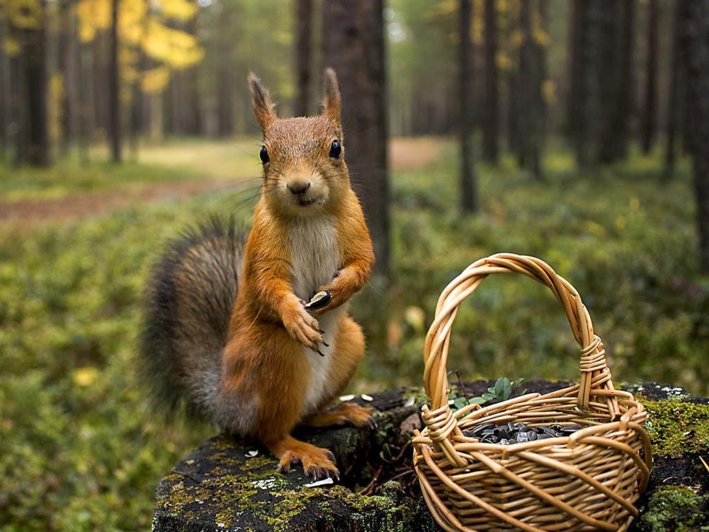 "<img src=""http://2.bp.blogspot.com/-8pGvNYrsdgA/Utg2PpqHqPI/AAAAAAAAIVo/9KOdriHUa0Y/s1600/animal-wallpapers-squirrel-innocent.jpg"" alt=""squirrel wallpapers"" />"