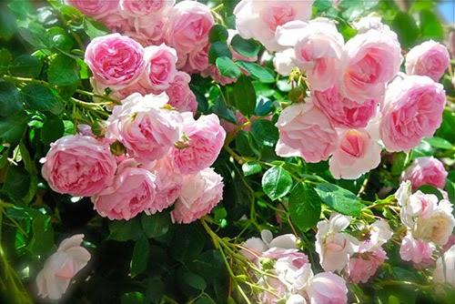Giống hồng leo Jasmina