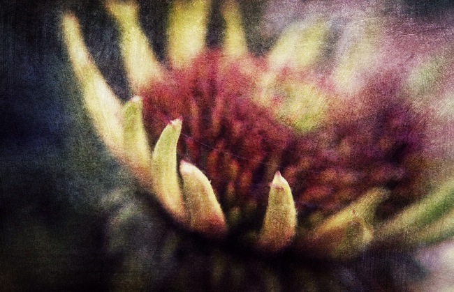 Painted Coneflower © Firery Broome