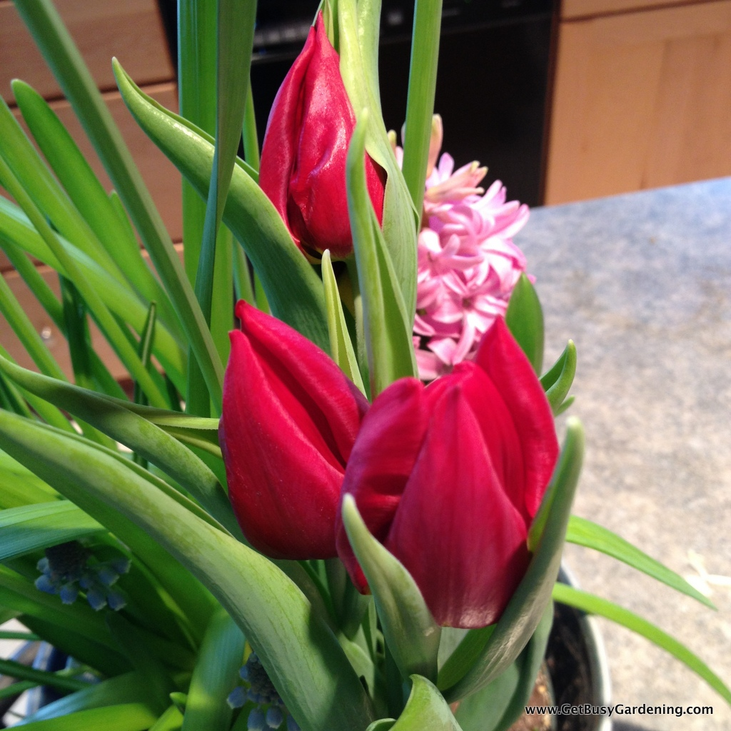 Tulips and Hyacinth in forced bulb container
