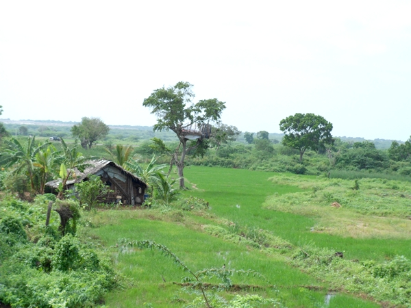 Paddy field and Chene aroud Hambantota
