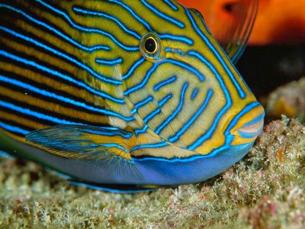 criaturas marinas pez cirujano listado