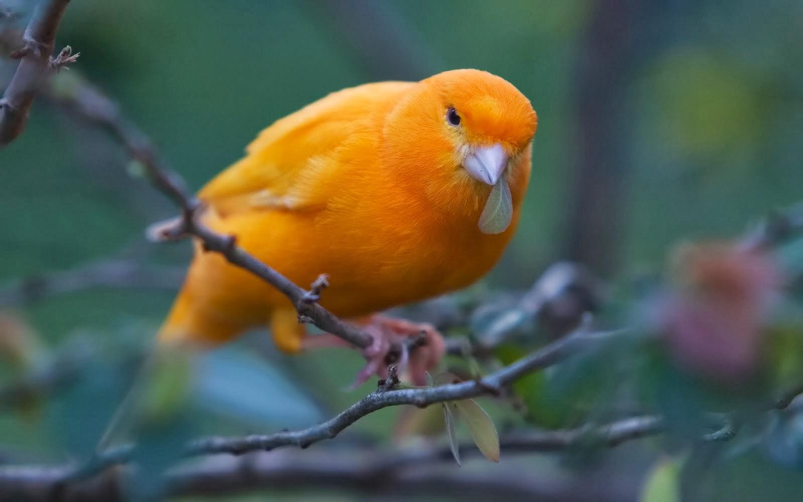 memaster burung kenari dengan ciblek