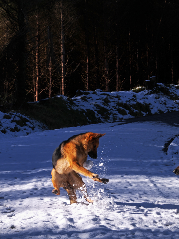 German Shepherd catches a snowball in her paws.