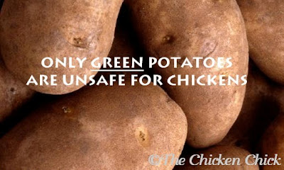 Potatoes are okay to feed to chickens even with the skin on, but they are not safe when the potato begins to turn green.