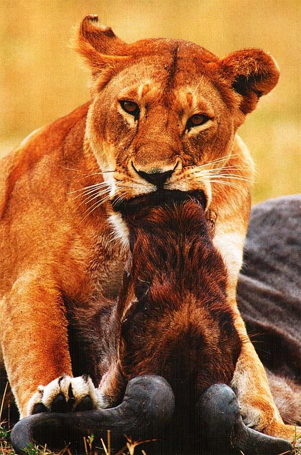 Львица с убитой антилопой