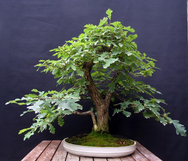 As minhas hist rias e aventuras de bonsai quercus robur for Bonsai prezzi