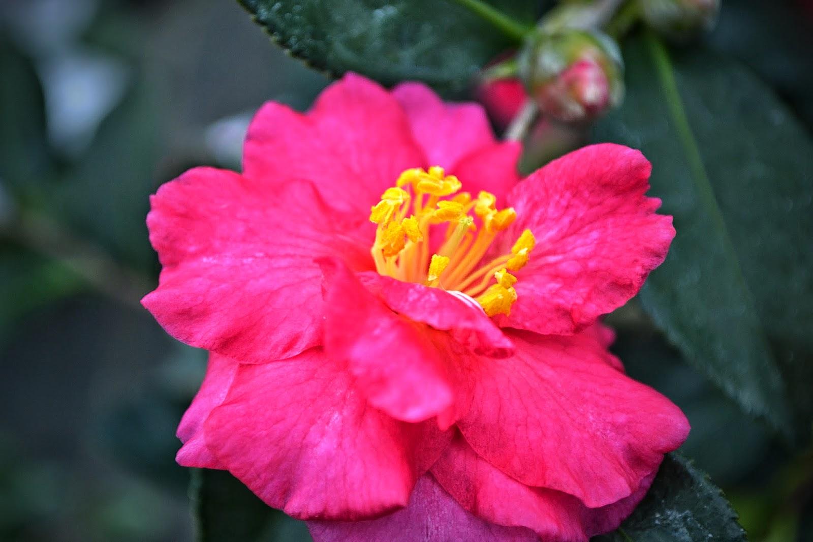 The outlaw gardener camellia sasanqua 39 shishi gashira 39 is for Camellia sasanqua