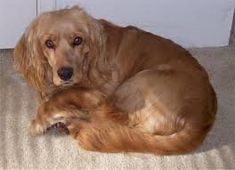Golden Cocker retriever image