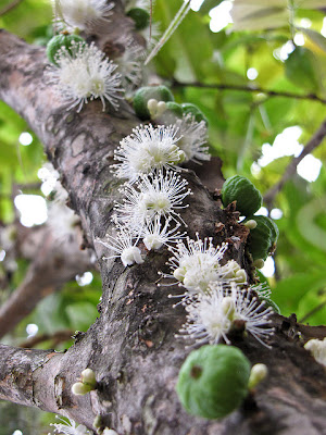 Real monstrosities jabuticaba - Flowers that grow on tree trunks ...