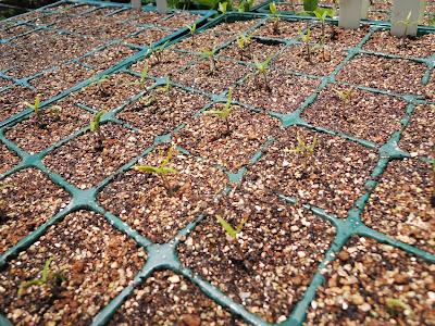 トウガラシの芽