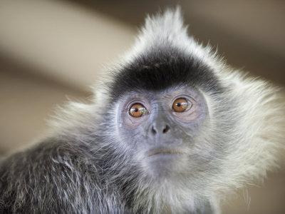 Scimmia Langur Argentata