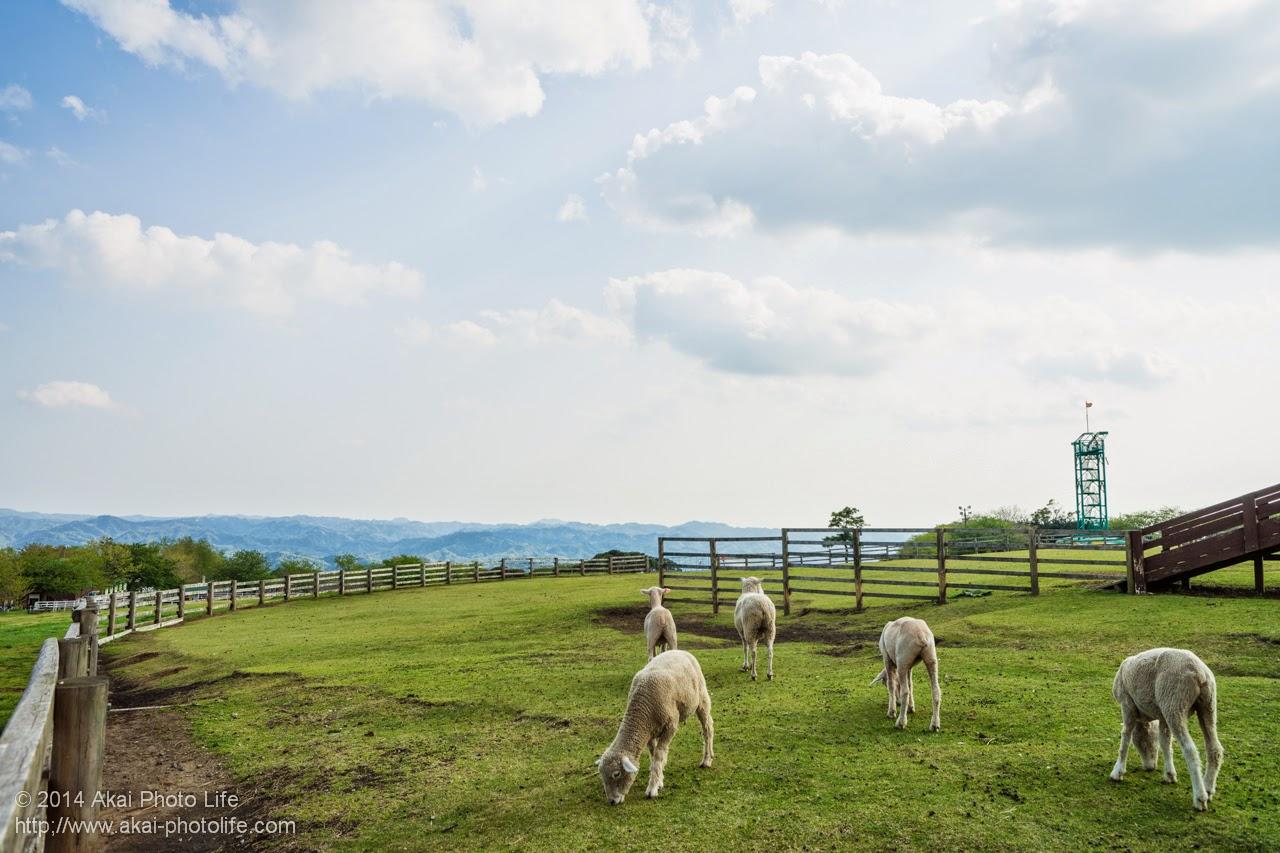 マザー牧場 放牧されていた羊
