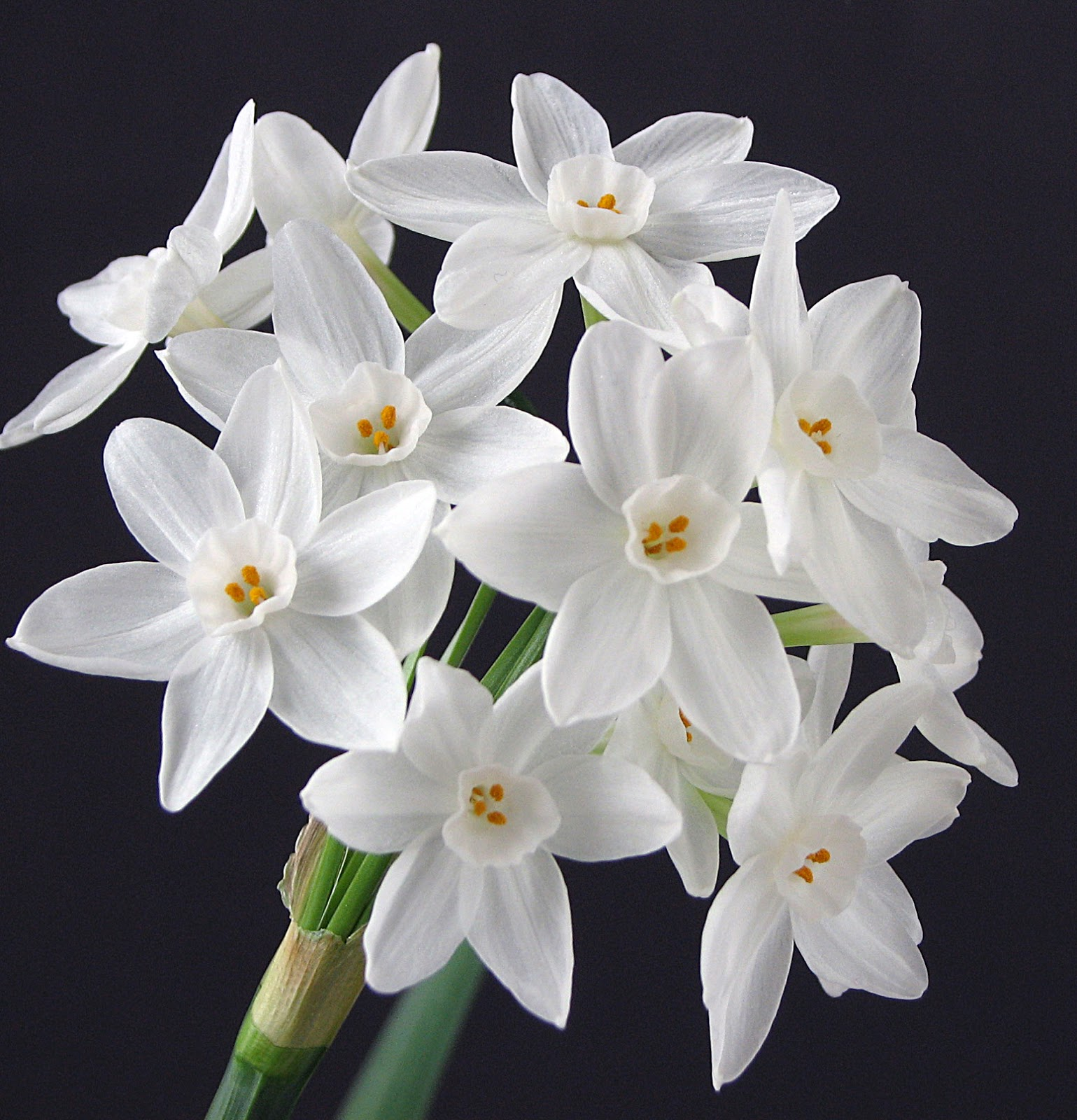 Narcissus Paperwhites