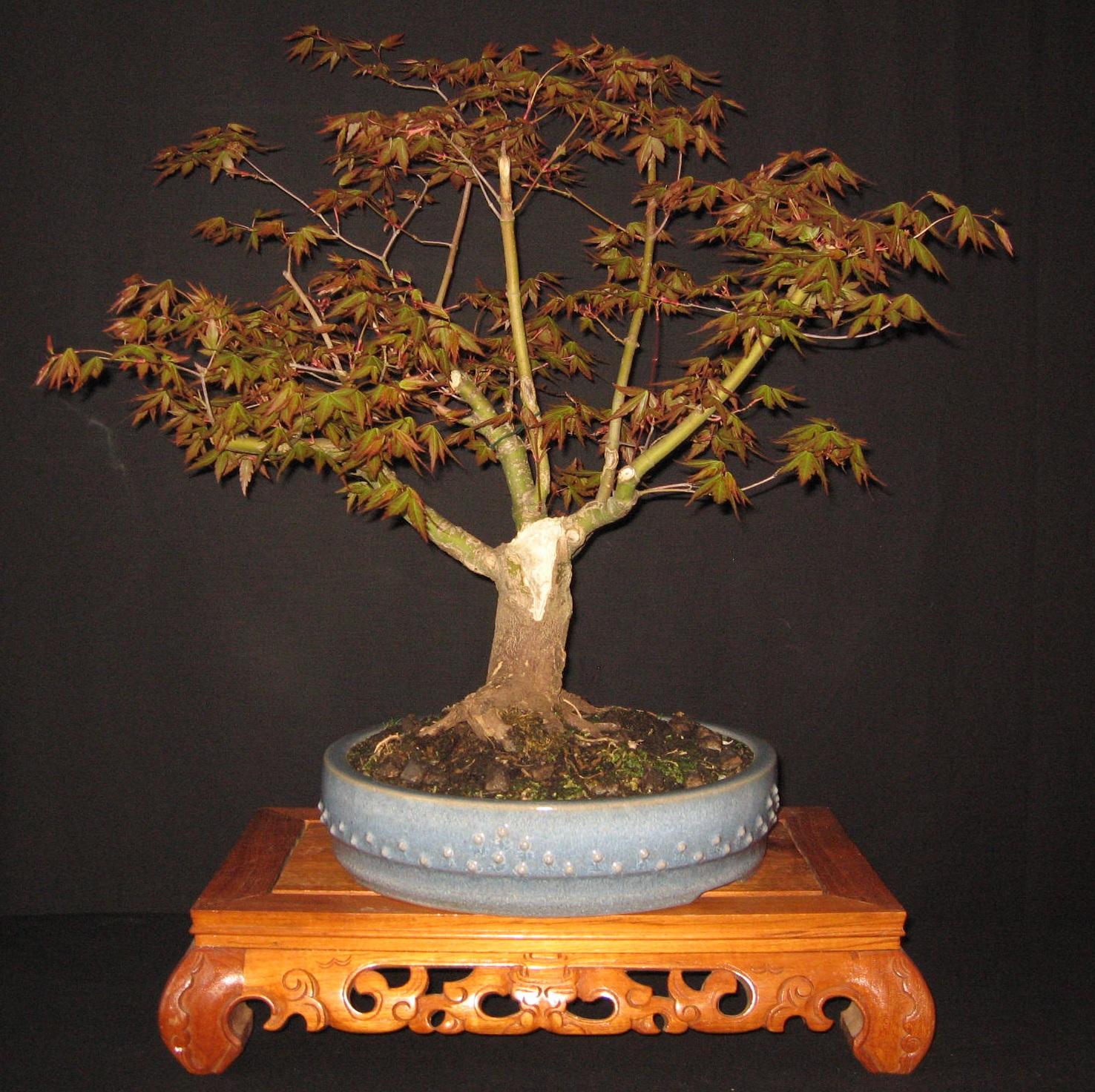 bonsai das sch nste hobby der welt katsura ahorn die. Black Bedroom Furniture Sets. Home Design Ideas