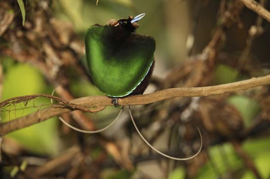 Rare Birds Of Paradise Jithu: Beautifu...
