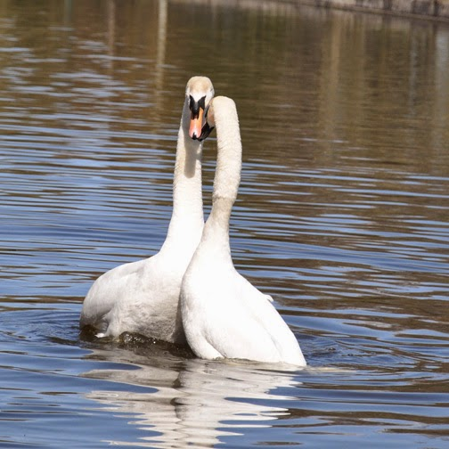 mute swans after mating