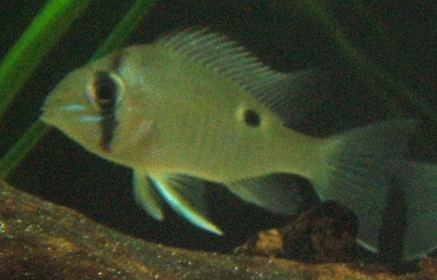 Greenstreaked Eartheater,cupid cichlid - Biotodoma cupido