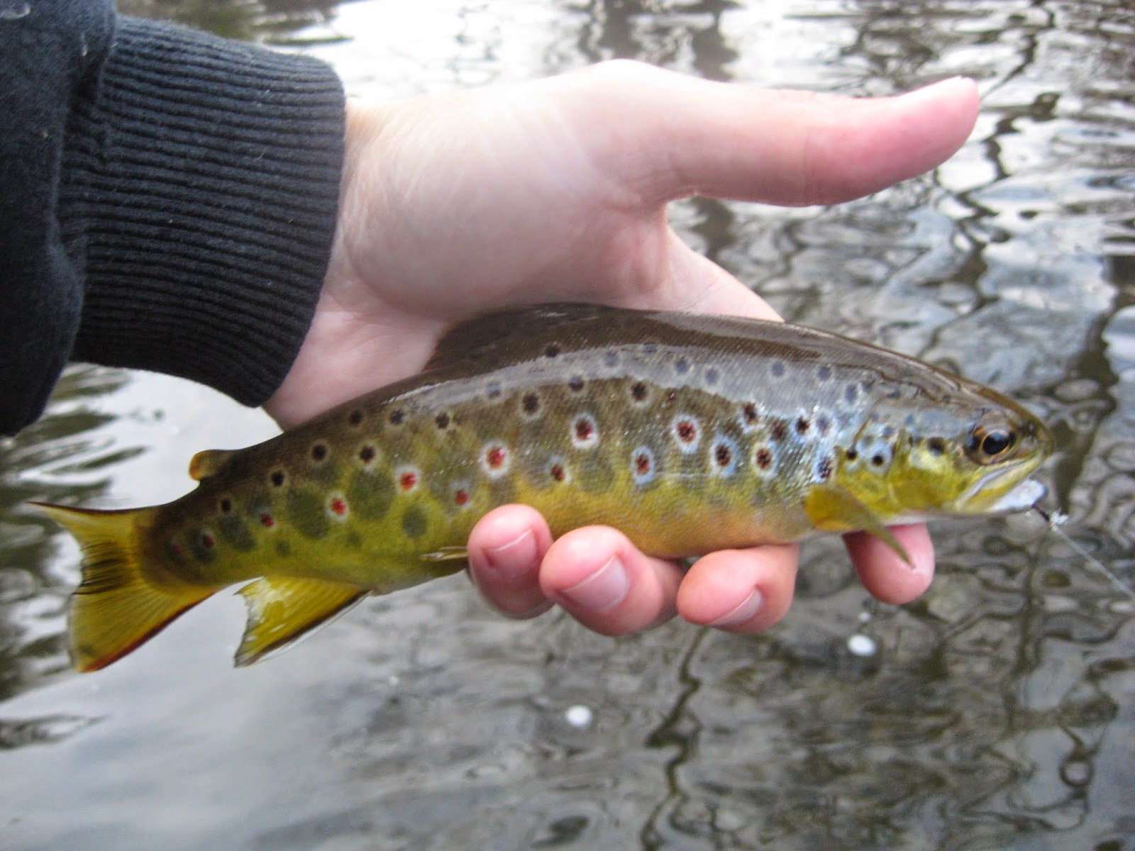 Minnesota driftless fly fishing trip report minnesota for Driftless fly fishing