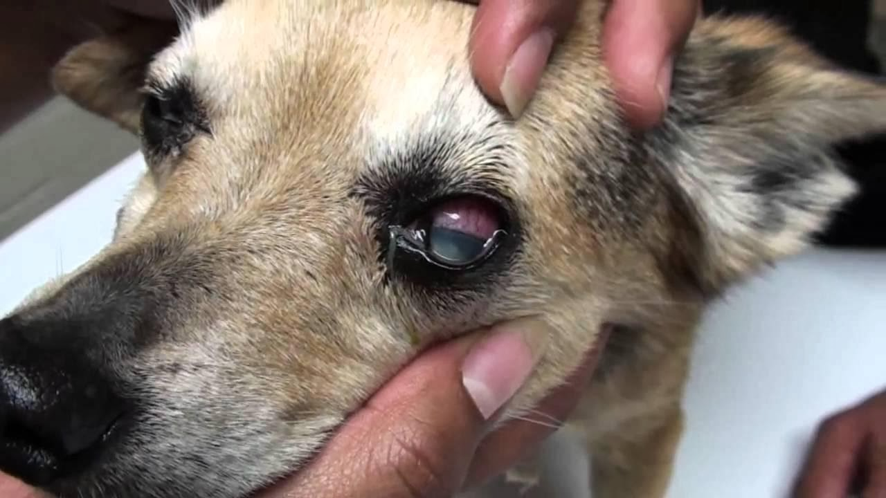 What does cherry eye look like in dogs