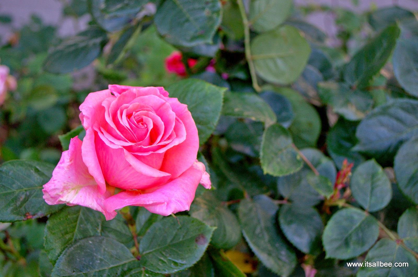 rose garden of Imperial War Museum London