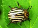 حشرة الكلورادو