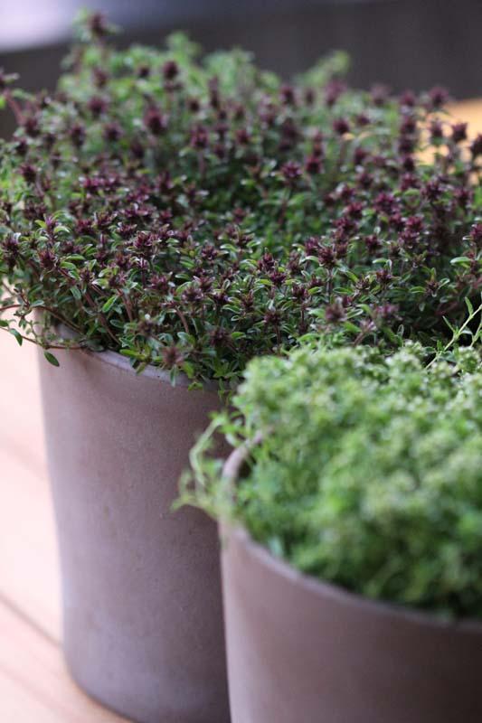 mein balkon steckbrief thymian pastaaufwerter und tomatenfreund. Black Bedroom Furniture Sets. Home Design Ideas