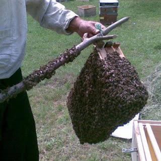 خطوة بخطوة تعلم جمع طرود النحل