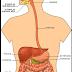 Sistema Digestivo en el hombre
