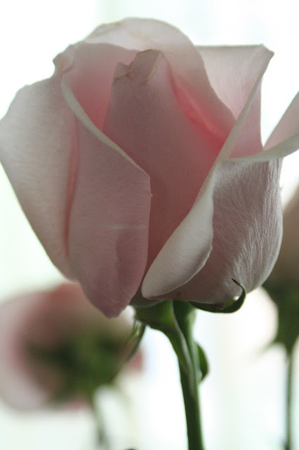 Pink roses for mommy (red is too romantic, white is too dull) :: All Pretty Things