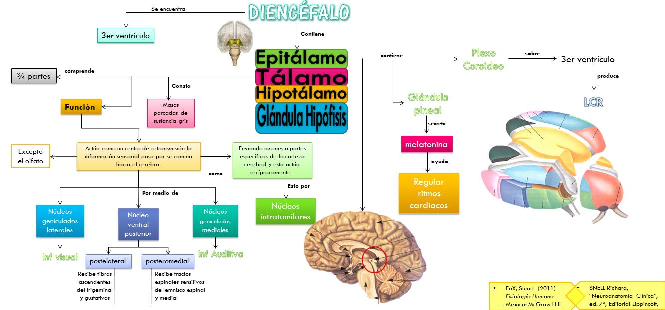 Diencefalo - Anatomía del Sistema Nervioso