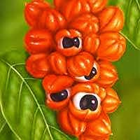 Guaraná é o fruto da alegria