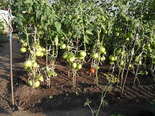 Грядка индетерминантных помидоров