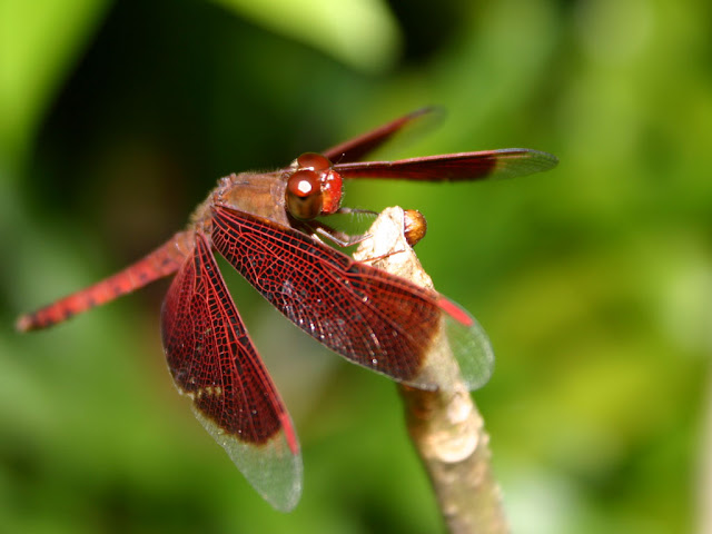 Precious Dragonfly Photos