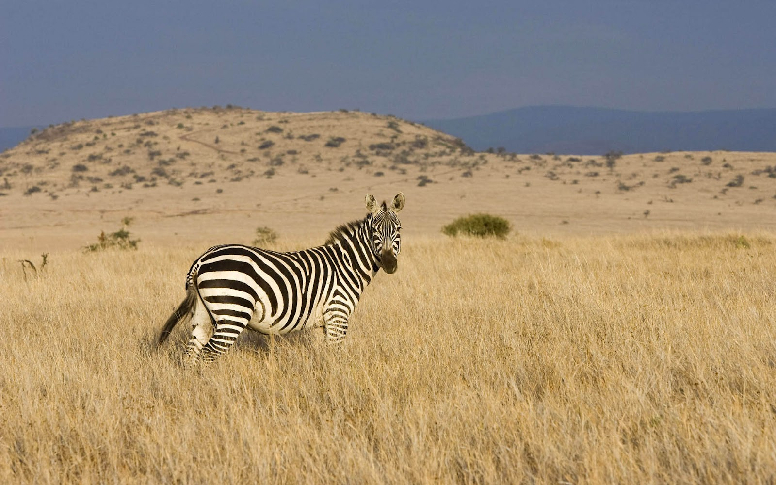 http://2.bp.blogspot.com/-8voxzz2EFw0/UCQSRJDCETI/AAAAAAAAAMY/xBmFn40dR5o/s1600/hd-zebra-wallpaper-with-a-zebra-in-dry-field-background-picture.jpg
