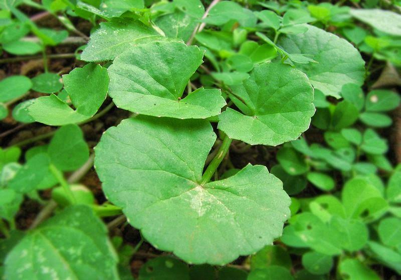 manfaat dan khasiat daun pegagan untuk kesehata tubuh