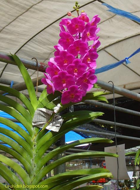 http://2.bp.blogspot.com/-8wC6OTDg81s/Tiom8zebzrI/AAAAAAAAArk/x2j_NNm0Y-A/s1600/Vanda+hybrid+Orchid+Flower+Picture+06.JPG