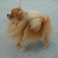 Cutest Dog Breeds In The World Pomeranian