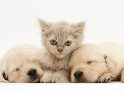 pictures of puppies and kittens together. Kitten and Puppies