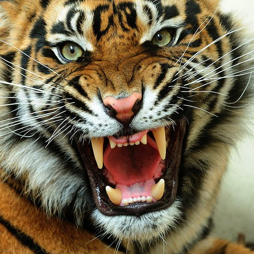 Tiger Face Roaring One Pic Angry