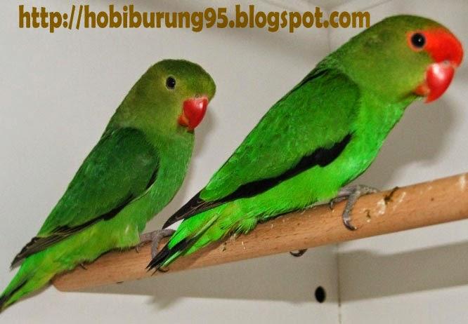 Jenis - Jenis Burung Lovebird