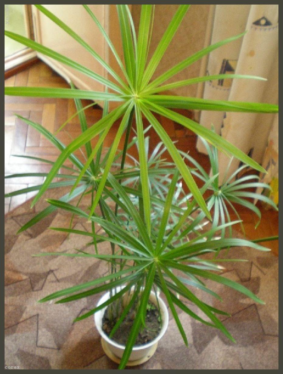 Название цветы похожие на пальму фото