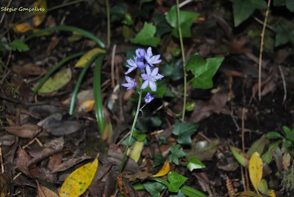 Jacinto-dos-campos [Hyacinthoides hispanica