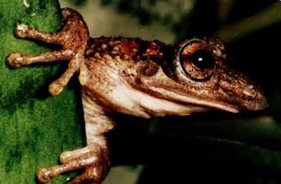 Venomous toxic frog corythomantis greeningi