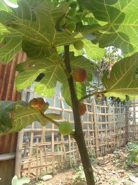 Red Libya Fig