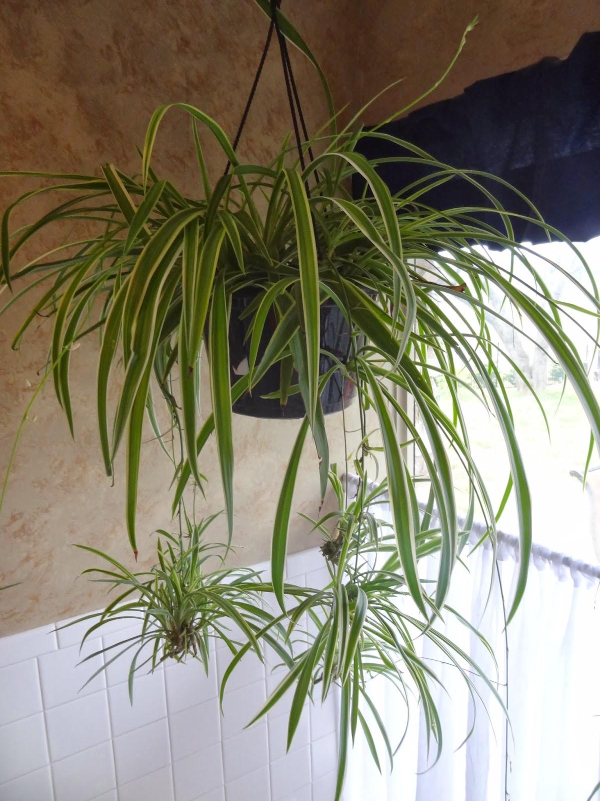 Rebecca's Texas Garden: Spider Plant Propagation