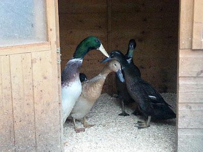 Pet Indian Runner Ducks