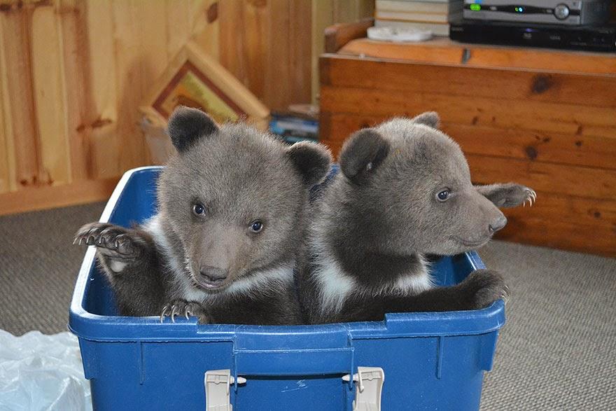 osos siberianos bebes